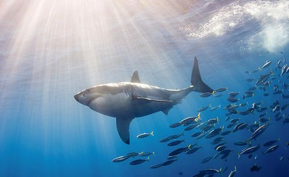 правила поведінки в море з акулами